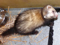 le furet de Cartravers